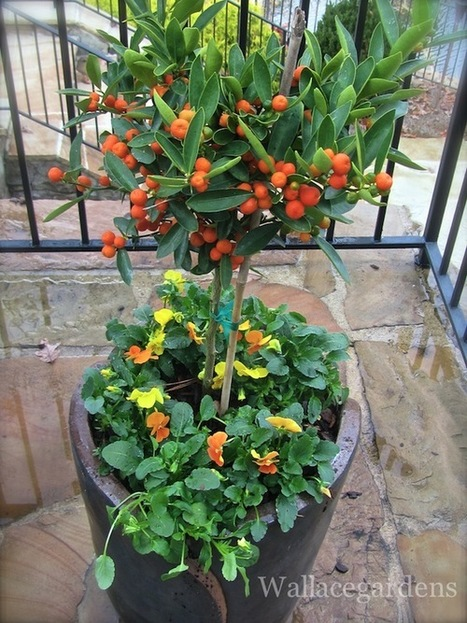 This little citrus tree was given to me by one of... | Wallace Gardens | Garden Design with Wallace Gardens | Scoop.it