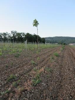 educagri.fr: Exploitation agricole de l'EPL Aubenas (Rhône-Alpes) : un système de culture innovant en agroforesterie viticole | agroforestery | Scoop.it