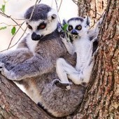 Saving Primate Lemurs  · Global Voices | ANIMAL LATITUDE NEWS | Scoop.it