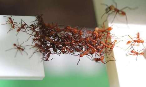 Ants filmed building moving bridges from their live bodies | Amazing Science | Scoop.it