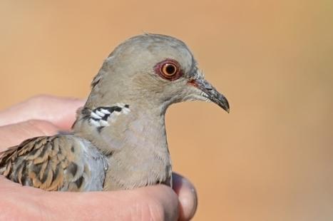 Scientists warn of impending turtle dove British extinction | GarryRogers NatCon News | Scoop.it