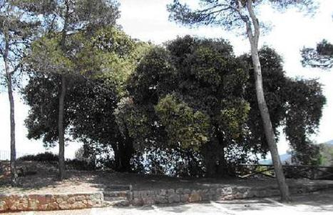 Alcoy protege sus árboles más valiosos - Información | Infraestructuras verdes | Scoop.it