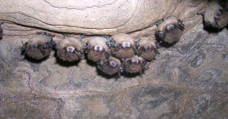 Fungus that killed millions of bats found in Nebraska - Ruidoso News | Bat Biology and Ecology | Scoop.it
