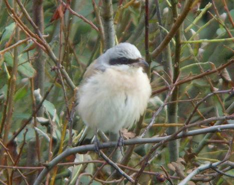 Eastern Red-backed Shrike ssp. kobylini   Bird ID   Scoop.it
