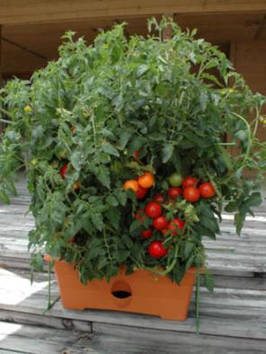 The Garden Patch   Grow Vegetables   Scoop.it