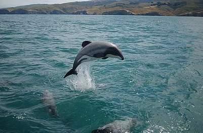 Les 55 derniers dauphins Maui de la planète menacés par des forages de pétrole | Chronique d'un pays où il ne se passe rien... ou presque ! | Scoop.it