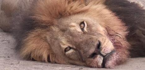 Le magnifique lion Cecil tué, dépecé et décapité par des chasseurs   animaux   Scoop.it