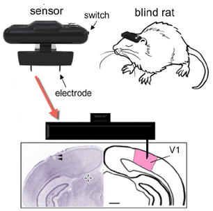 Geomagnetic compass hooked to the brain allows blind rats to 'see' | KurzweilAI | Longevity science | Scoop.it