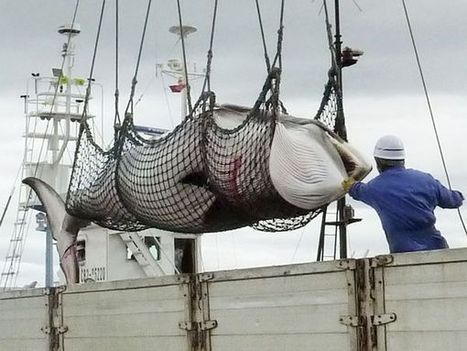 #Japan Halts #Whaling Program in Response to #ICR  #TheWorldisStillWatching | The natural world | Scoop.it