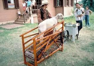 Sheep as models for diabetes   IB Biology   Scoop.it