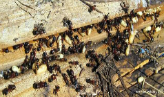 How to Prevent Carpenter Ant Infestations? | R.I.P. Pest Management | Pest Exterminator Northern Beaches | Scoop.it