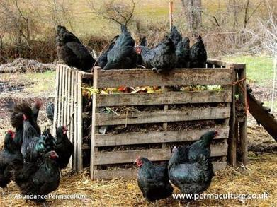 Stacking Functions: The chicken compost run | Think Like a Permaculturist | Scoop.it