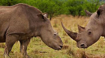N West officials accused of issuing illegal permits to rhino poachers | What's Happening to Africa's Rhino? | Scoop.it