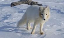 Little Ice Age led to migration of island hopping arctic foxes | Kiosque du monde : A la une | Scoop.it