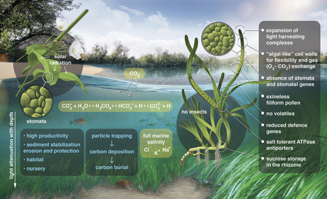 The genome of the seagrass Zostera marina reveals angiosperm adaptation to the sea : Nature | Plant Gene Seeker -PGS | Scoop.it