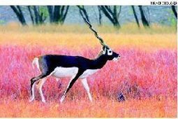 Blackbuck population in India on the decline: Study | Leading for Nature | Scoop.it