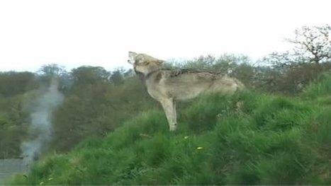 Des loups identifiés de façon infaillible grâce à leur hurlement | ¨¨Qui est le plus sauvage?¨¨ | Scoop.it