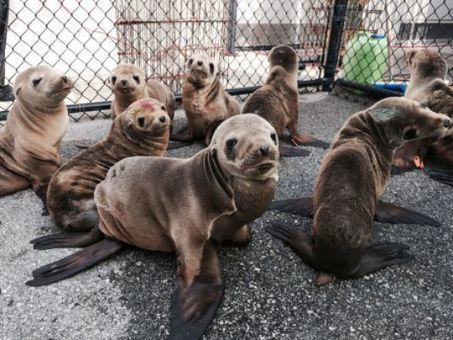 Starving Sea Lion Pups and Liquified Starfish -- How We've Turned the Eastern Pacific into A Death Trap for Marine Species   GarryRogers Biosphere News   Scoop.it