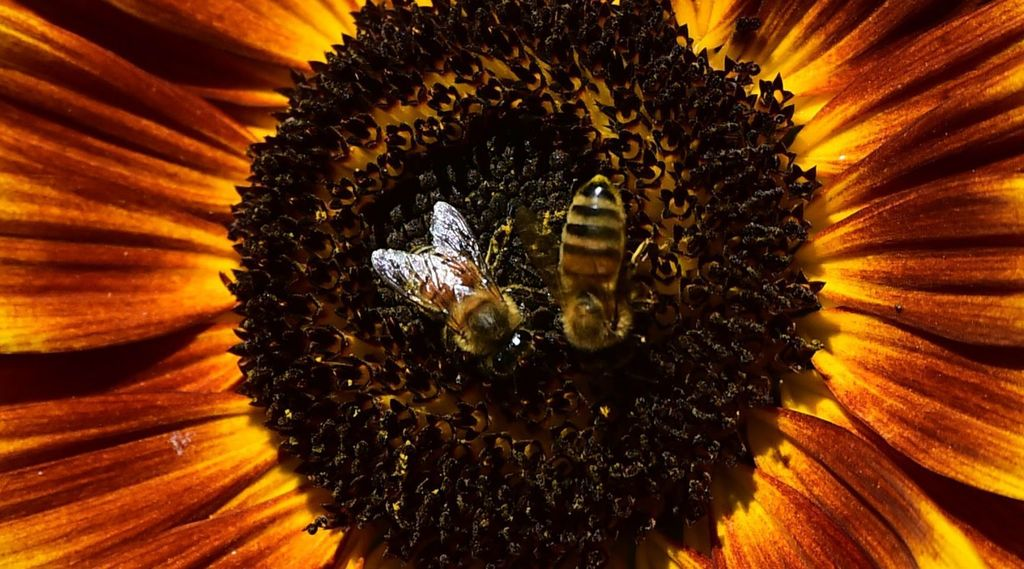 La France vote l'interdiction des insecticides tueurs d'abeilles