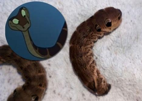 De Mons à Chaudfontaine, cette larve vous a intrigués : Une drôle de tête qui ressemble à Ka dans le Livre de la jungle (vidéo) | Les colocs du jardin | Scoop.it