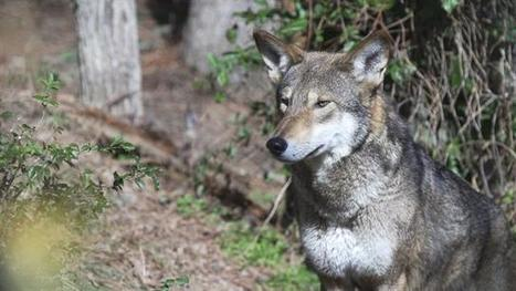 For World's Only Wild Red Wolves, a Fateful Decision   Advocating for Wildlife   Scoop.it