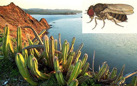 Comment une espèce de drosophile est devenue dépendante d'un cactus au cours de l'évolution   EntomoNews   Scoop.it