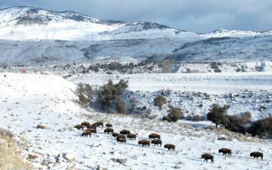 Yellowstone begins transferring bison for slaughter | GarryRogers NatCon News | Scoop.it