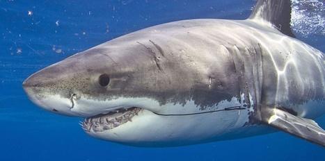 Le risque requin à la Réunion : communication, prévention, appli Iphone ... Quelles solutions ? | Le marketing digital du tourisme | Scoop.it