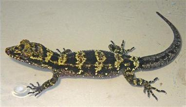 New Yellow-Striped Gecko Found in Papua New Guinea | e-Expeditions | e-Expeditions News | Scoop.it