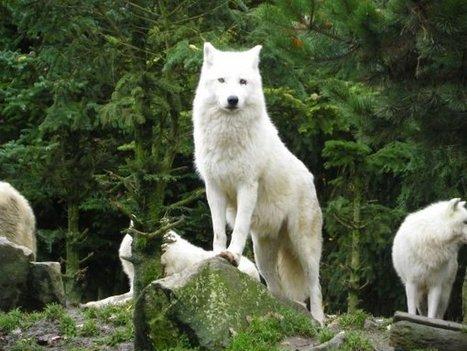 Loup blanc de l'Arctique   J'écris mon premier roman   Scoop.it