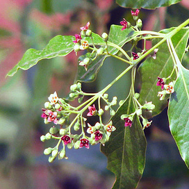 Saving the East Indian sandalwood tree - AoB Blog | Erba Volant - Applied Plant Science | Scoop.it