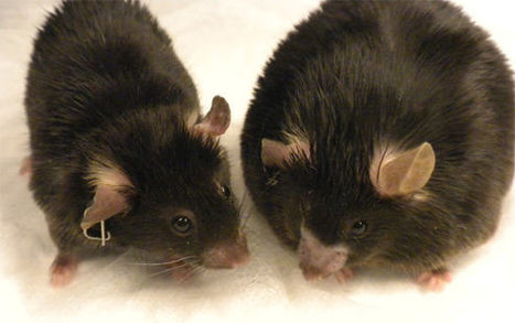 Scientists Identify Gene that Causes Obesity in Mice   Genetics   Sci-News.com   leapmind   Scoop.it