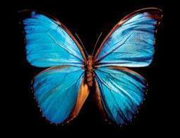 Bionic butterfly wings are ultimate heat sensors | Belize in Social Media | Scoop.it