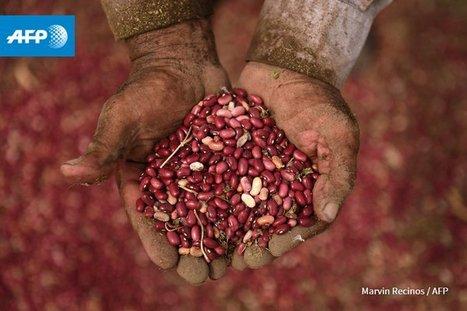 En Amérique centrale, des haricots magiques défient la sécheresse | Histoire culturelle - Culture, espaces, environnement | Scoop.it