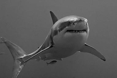 Tuer les requins pour éviter les attaques, un «massacre inefficace» | Planète Actu | Scoop.it