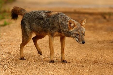 Le loup doré africain, une nouvelle espèce de chien sauvage découverte en Afriqu | Biodiversité | Scoop.it