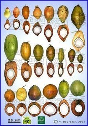 Coconut Plan B needed | Agricultural Biodiversity | Scoop.it