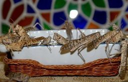 Government: Locusts pose no harm to crops | Égypt-actus | Scoop.it