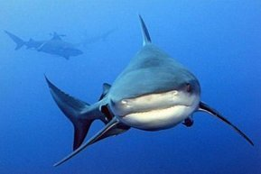 Pacific countries urged to protect dwindling shark populations - Australia Network News - ABC News (Australian Broadcasting Corporation) | All about water, the oceans, environmental issues | Scoop.it
