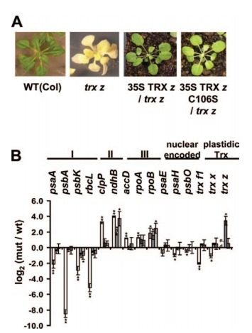 Redox activity of thioredoxin z and fructokinase-like protein 1 is dispensable for autotrophic growth of Arabidopsis thaliana | Publications @ the Börnke Lab | Scoop.it