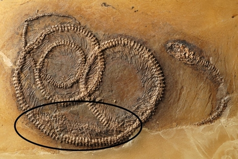 Snake eats lizard eats beetle: Fossil food chain from the Messel Pit examined | Conformable Contacts | Scoop.it