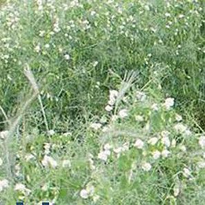 Horizon Forage Pea - (Pisum sativum L.)-Store.underwoodgardens.com | Permaculture, Homesteading, Ecology, & Bio-Remediation | Scoop.it