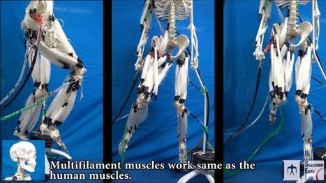 Première : Quand des muscles artificiels animent un squelette - SciencePost | Post-Sapiens, les êtres technologiques | Scoop.it
