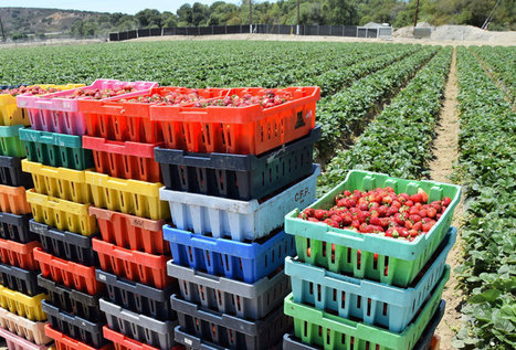 Strawberries + Pesticides: How California's Farmers are Looking for New Solutions - Modern Farmer | Permaculture, Horticulture, Homesteading, Bio-Remediation, & Green Tech | Scoop.it
