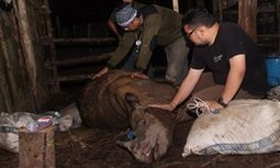 First #Sumatra #rhino found in #Borneo in 40 years has died   Messenger for mother Earth   Scoop.it