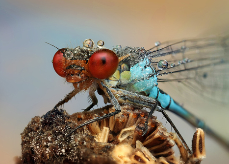 Amazing Macro Photographs of Insects Covered in Dew | Oh, you pretty things! | Scoop.it