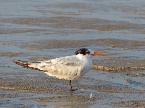 Photo de Laridé : Sterne royale - Thalasseus maximus - Royal Tern   Fauna Free Pics - Public Domain - Photos gratuites d'animaux   Scoop.it