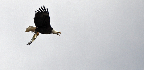 Eagles continue comeback along northern Mississippi River | This Gives Me Hope | Scoop.it