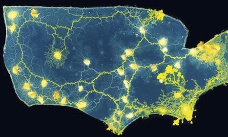 Cities in motion: how slime mould can redraw our rail and road maps | Biology vol for Sixth Form | Scoop.it