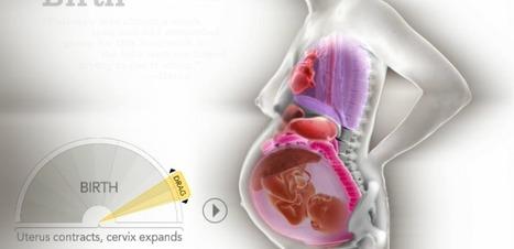 Grossesse : une animation dévoile comment le fœtus déplace les organes | dietconseil actualite dietetique nutrition évolution | Scoop.it